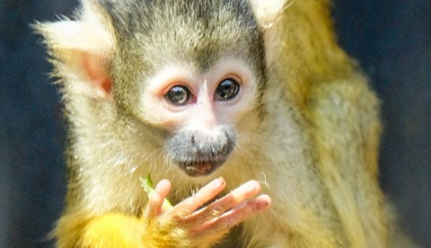 Bolivian Squirrel Monkey (1)
