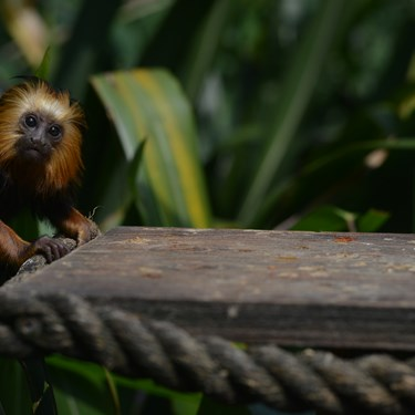 Golden Lion Headed Tamarin (2)