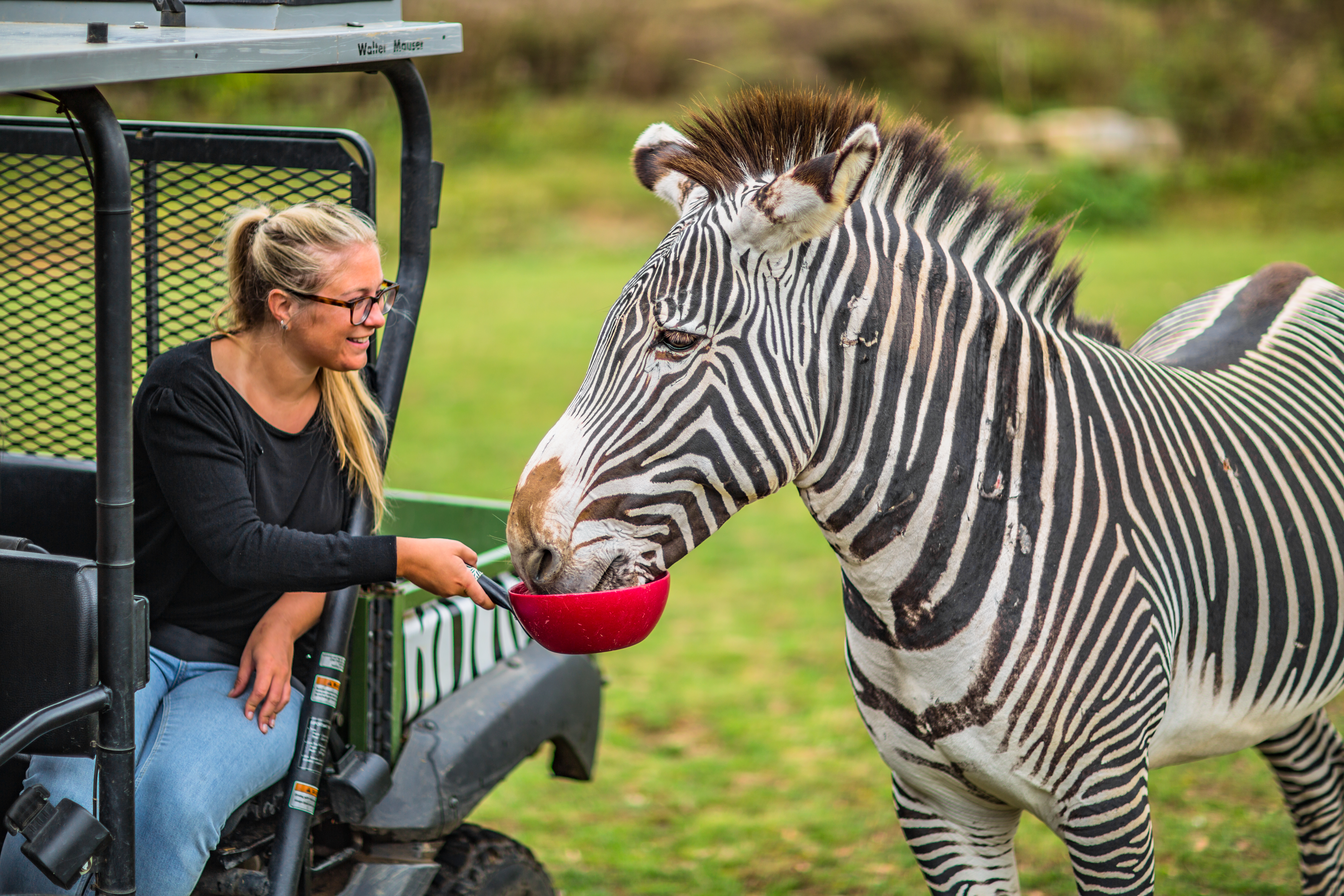 A Zebra Safari At Chessington World Of Adventures Resort (3)