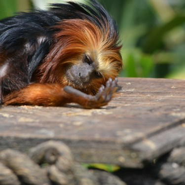 Golden Lion Headed Tamarin (1)