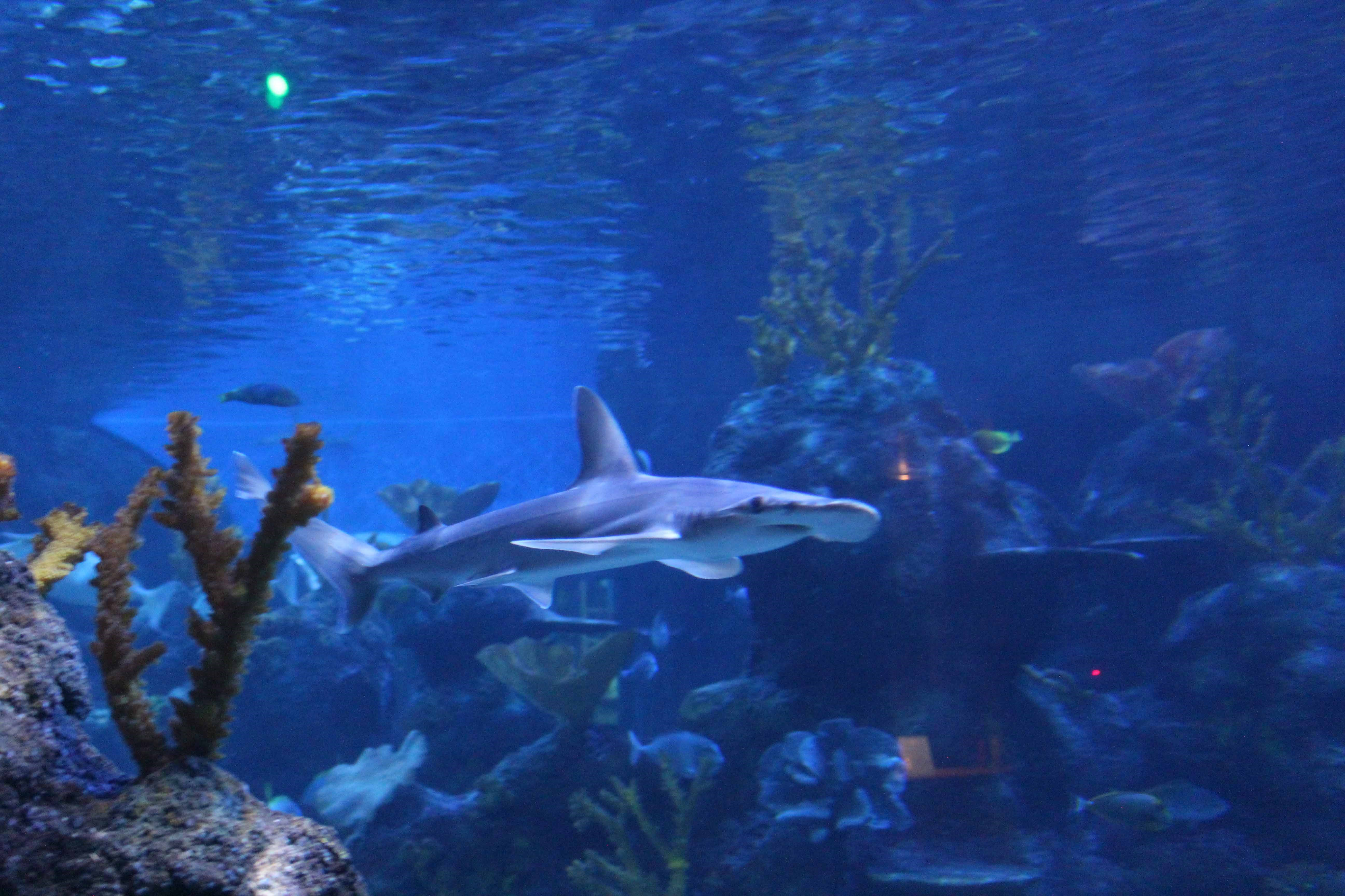 SEALIFE Bonnethead Shark