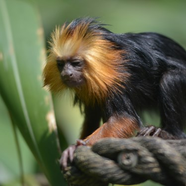 Golden Lion Headed Tamarin (3)