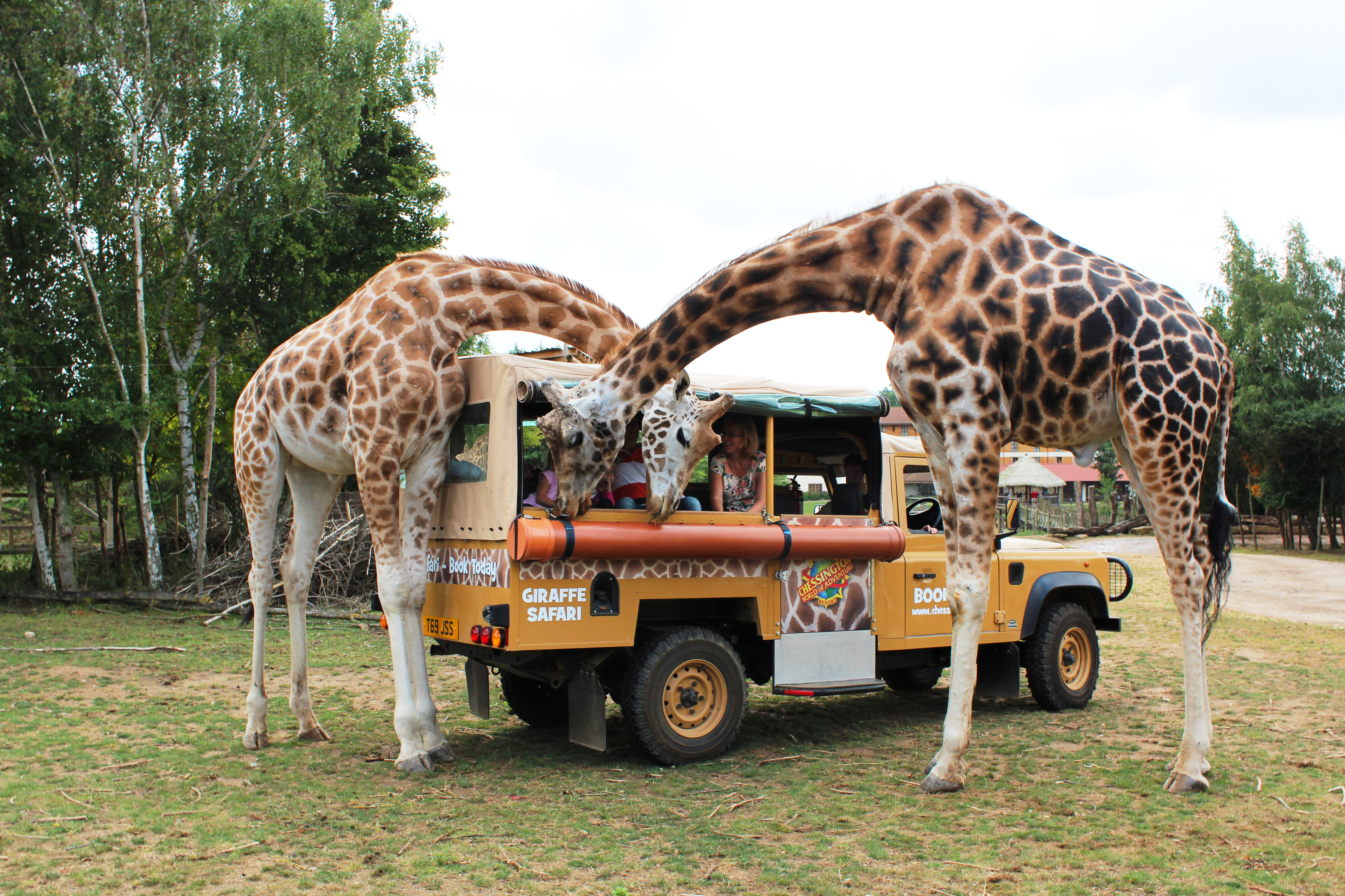 Giraffe Safari Feed