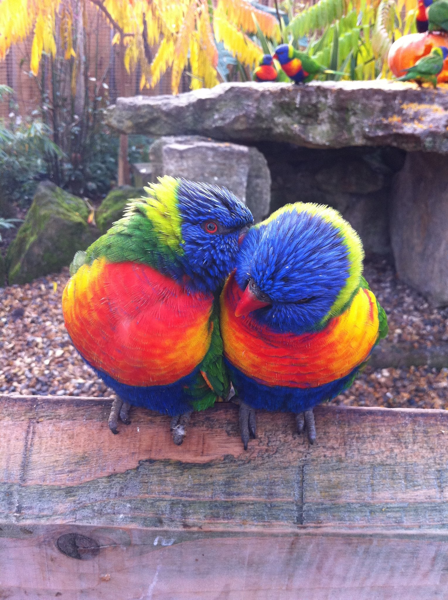 Lorikeets In Love At Chessington World Of Adevtnures Resort