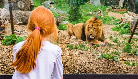 Kamal, An Asiatic Lion At Chessington World Of Adventures Resort LR