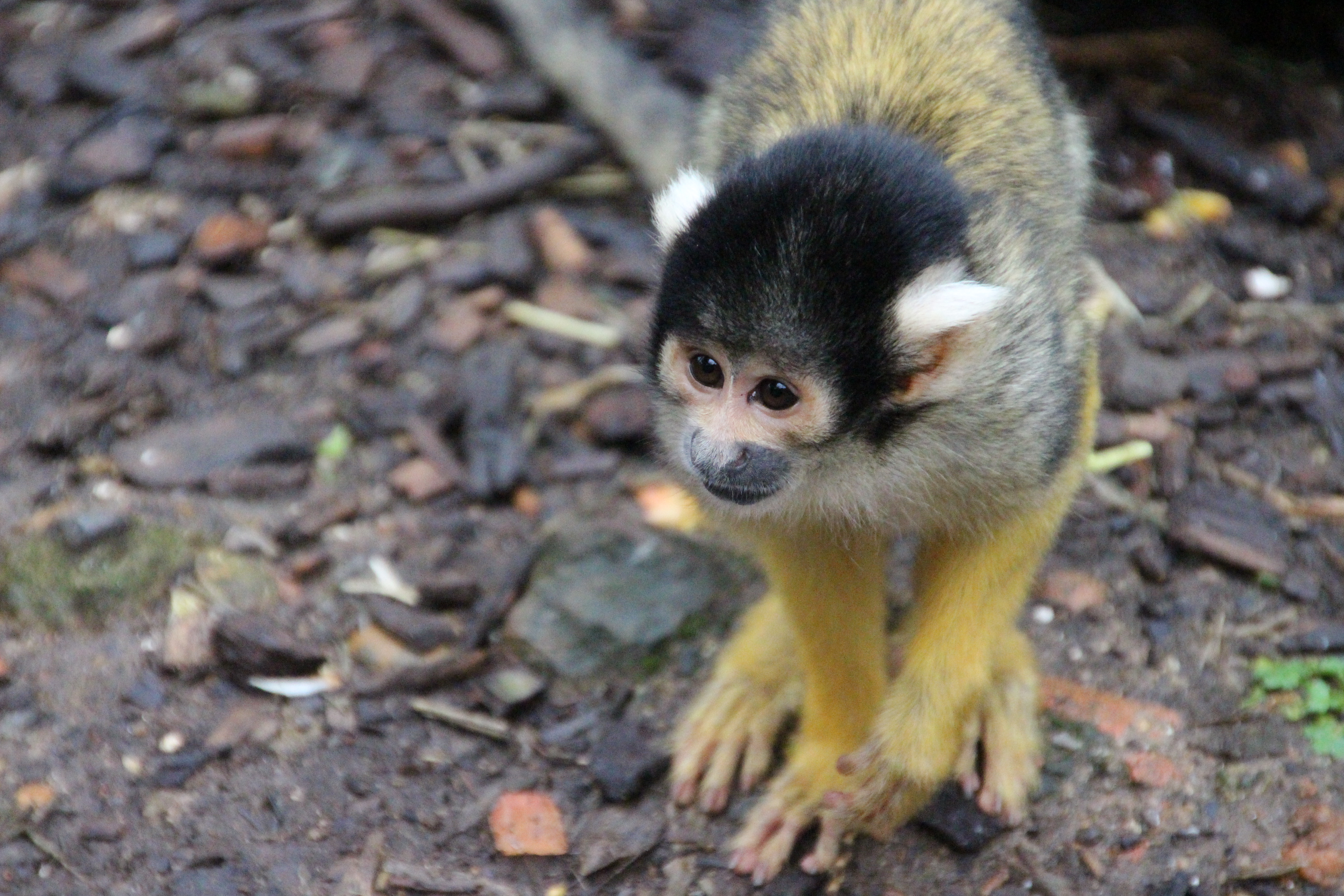 Bolivian Squirrel Monkey (9)