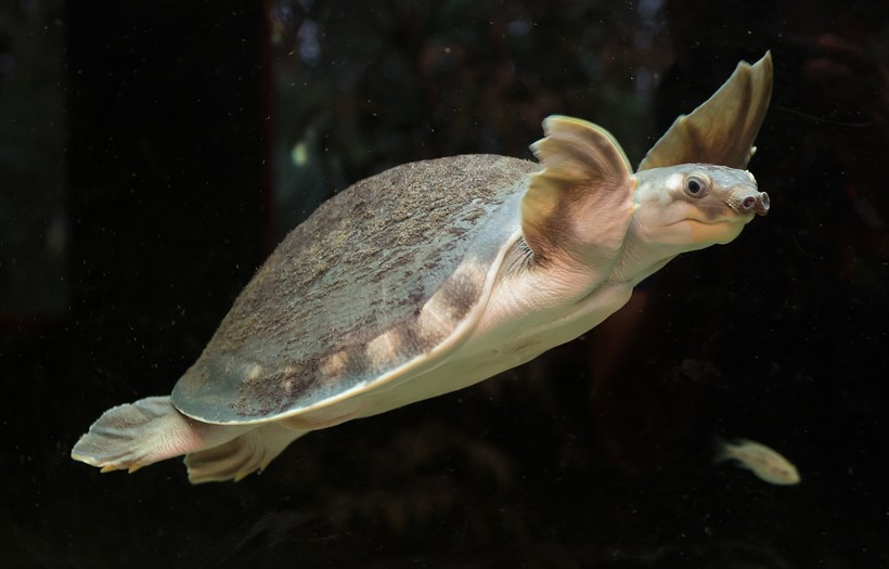 Pig Nose Turtle