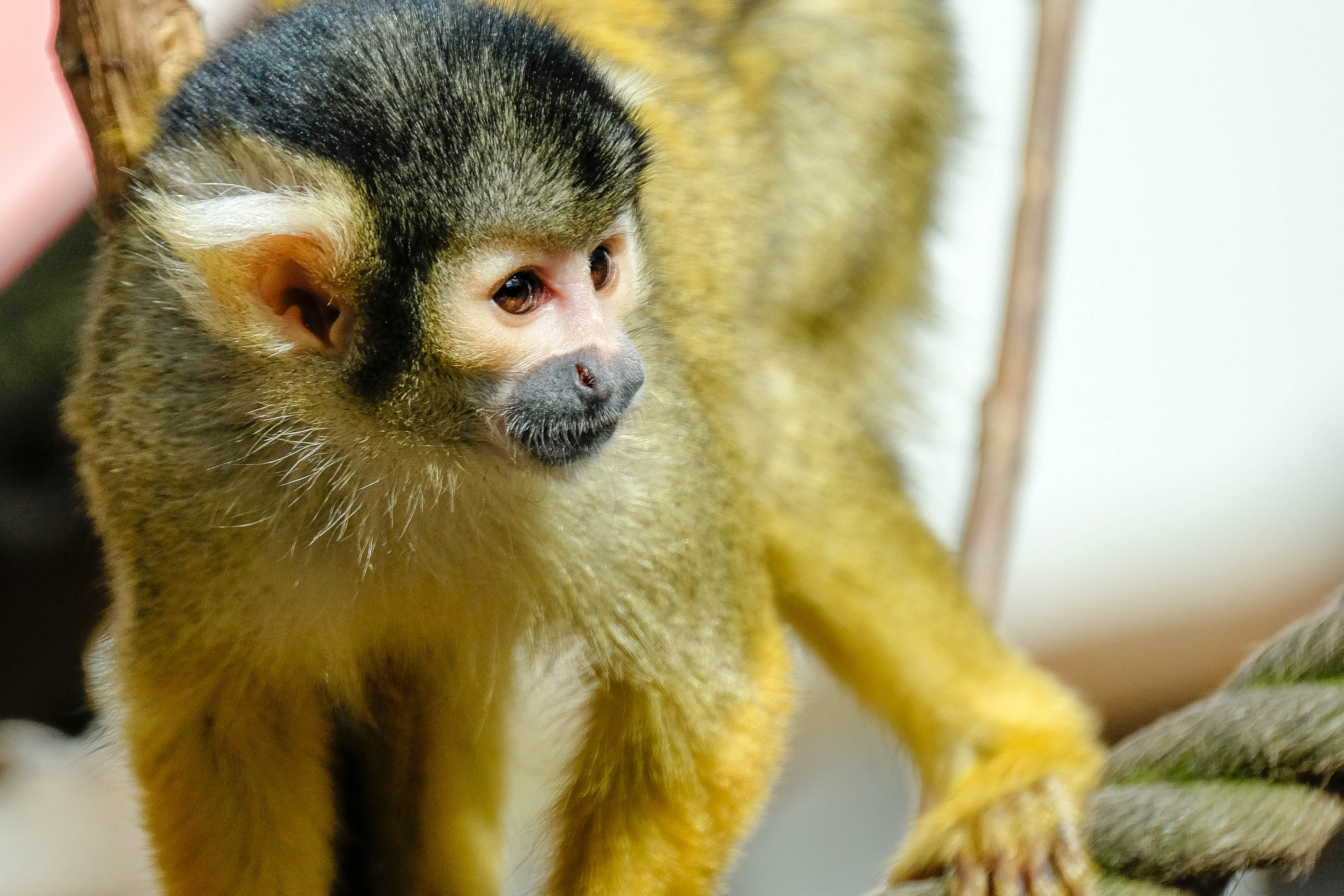 Bolivian Squirrel Monkey (6)