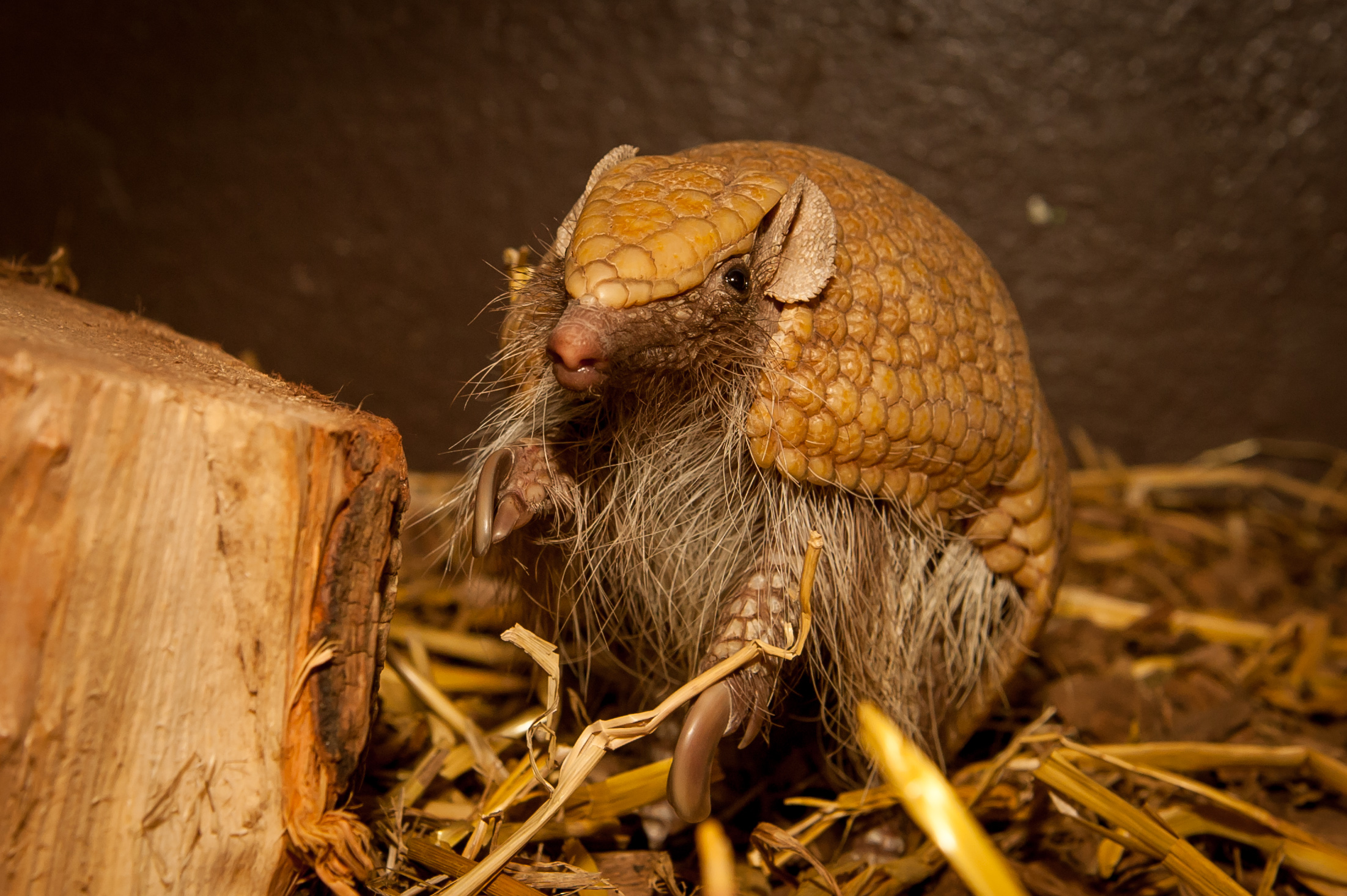 Three-Banded Armadillo (Flo)
