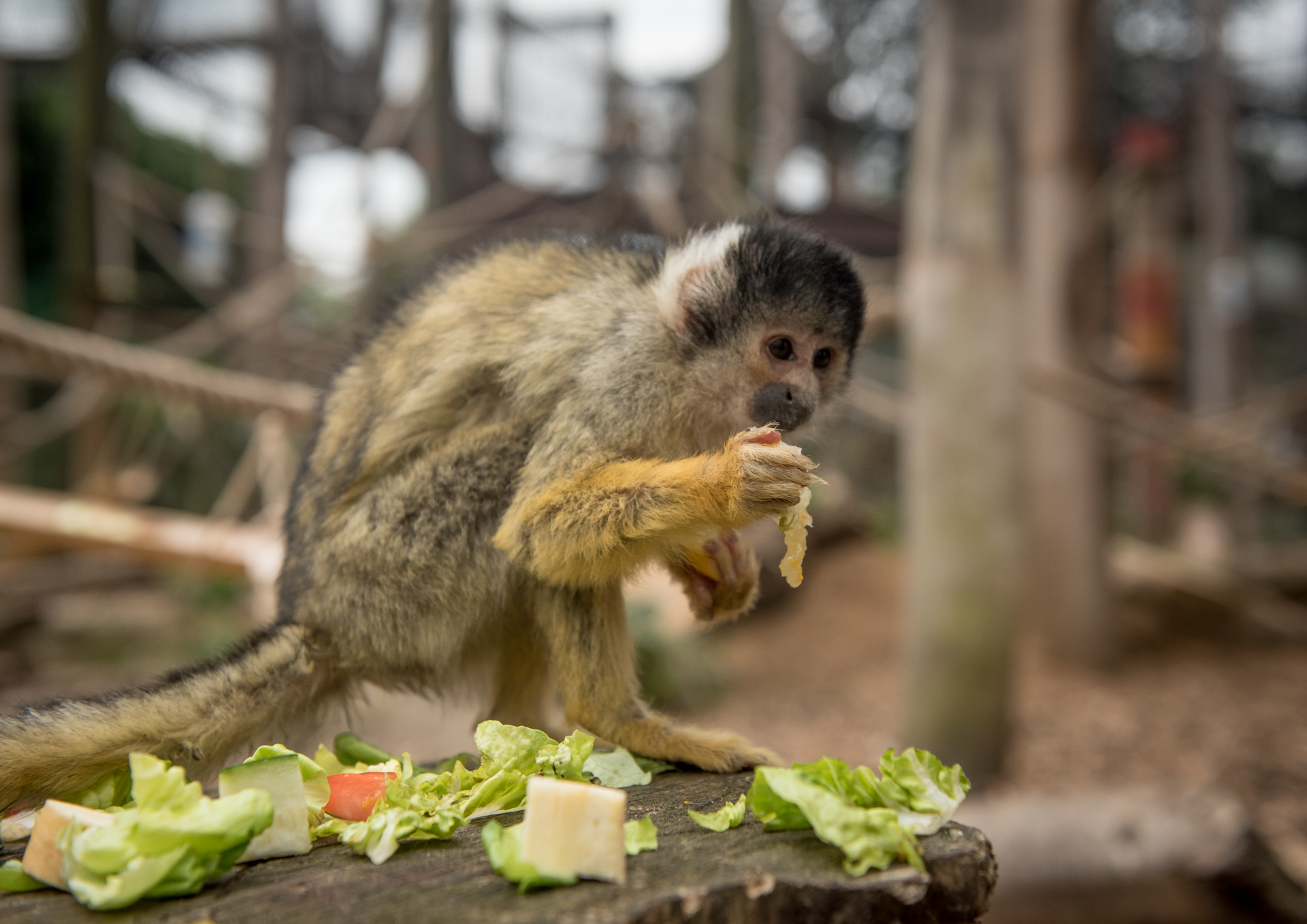 Bolivian Squirrel Monkey (1) (1)