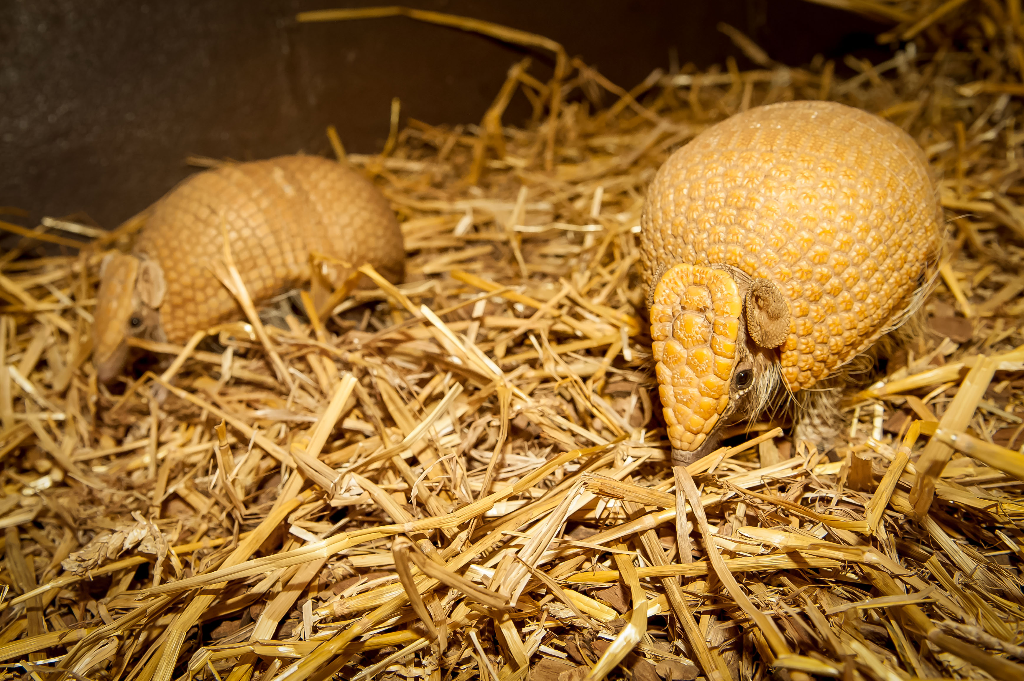 Flo And Tank (Armadillo)